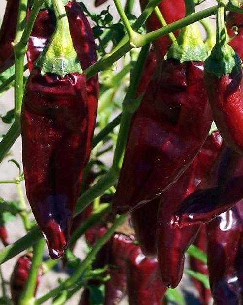 Hot Chilli Pepper Onza