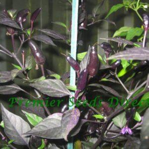 Hot Chilli Pepper Royal Black