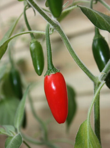 Hot Chilli Pepper Serrano Tampiqueno