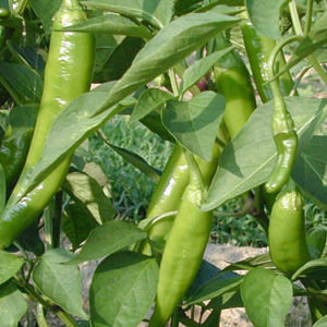 Hot Chilli Pepper Anaheim Organic