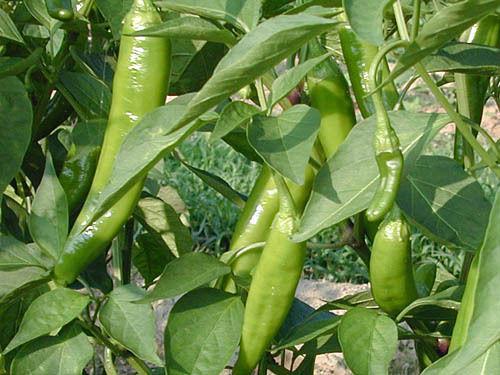 Hot Chilli Pepper Anaheim Organic