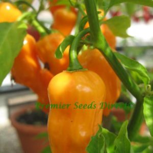 Hot Chilli Pepper Habanero Orange Organic