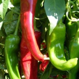 Hot Chilli Pepper Numex Sandia Organic