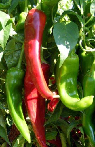Hot Chilli Pepper Numex Sandia Organic