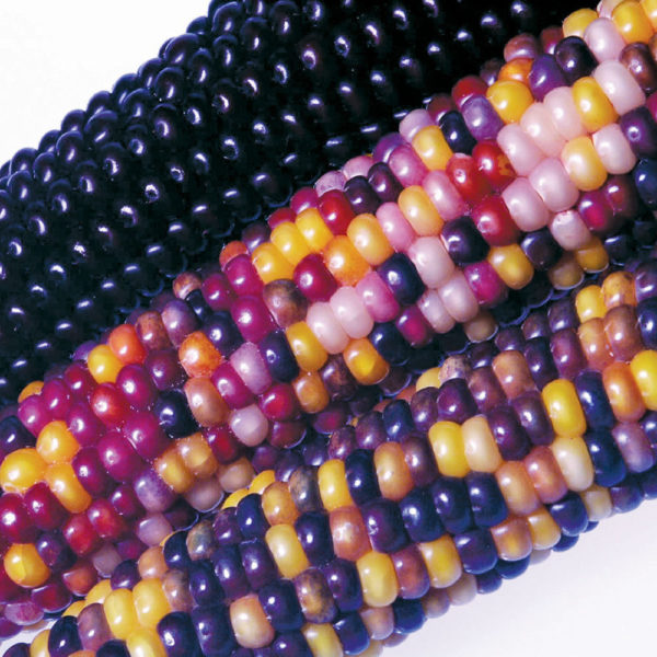 Heirloom Flint Corn Fiesta