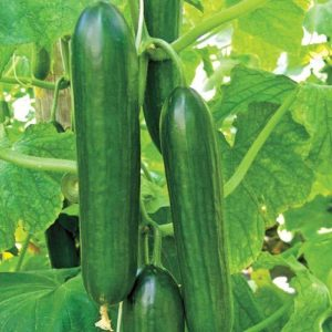 Cucumber Beth Alpha