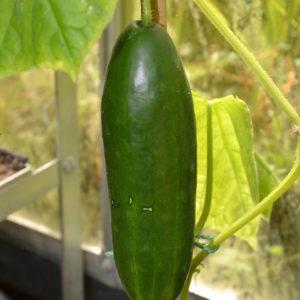 Cucumber La Diva F1