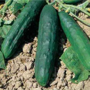 Cucumber Marketmore 76