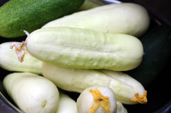 Cucumber White Wonder Bianco Lungo