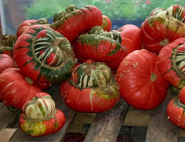 Gourd Turks Turban