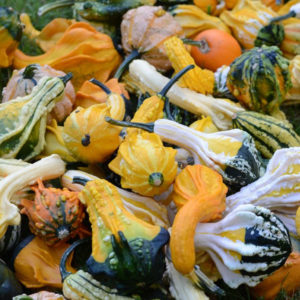 Gourd Warty Mixed