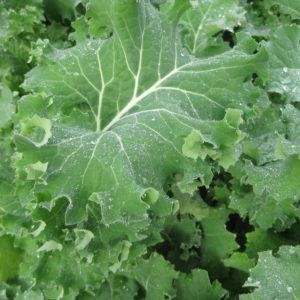 Kale Borecole Siberian