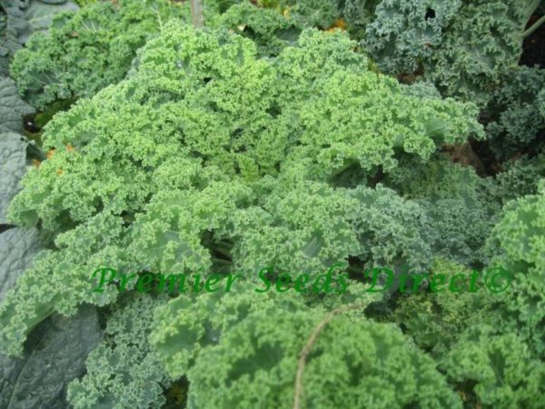 Kale Borecole Vates Blue Curled