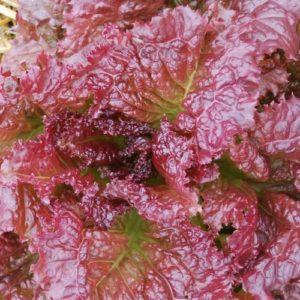 Lettuce Heirloom Red Velvet