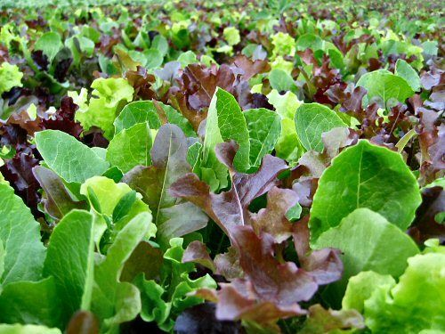 Lettuce Mixed Leaf Mesclun Mix