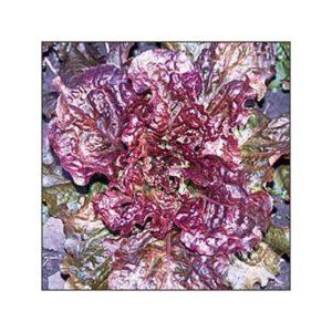 Lettuce Rubin