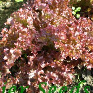 Lettuce Lolla Rossa Organic