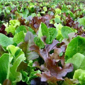 Lettuce Mixed Leaf Mesclun Mix Organic