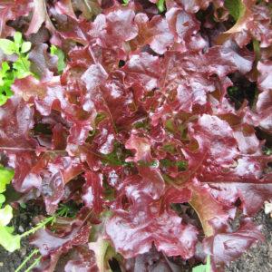 Organic Lettuce Red Oakleaf