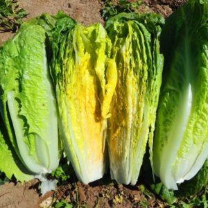 Lettuce Romaine Paris Island Cos Organic