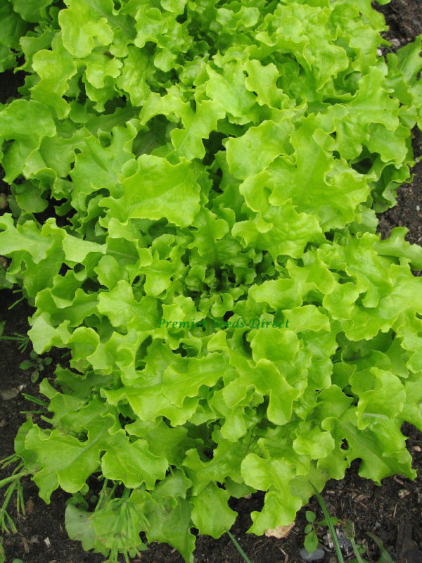 Lettuce Salad Bowl Green Organic