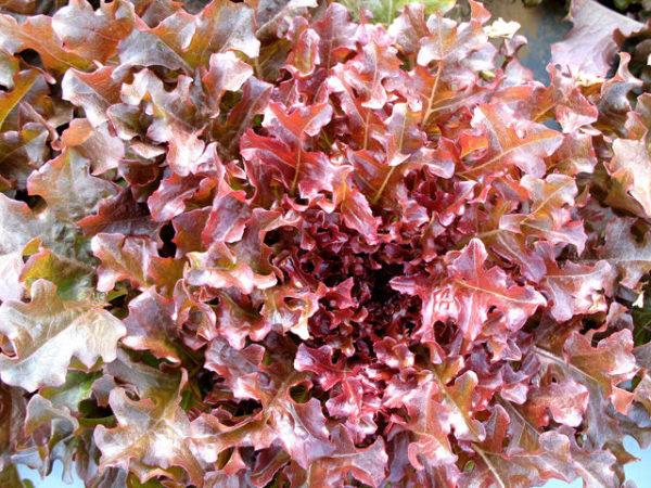 Lettuce Salad Bowl Red Organic