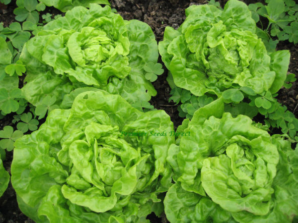 Lettuce Tom Thumb Organic