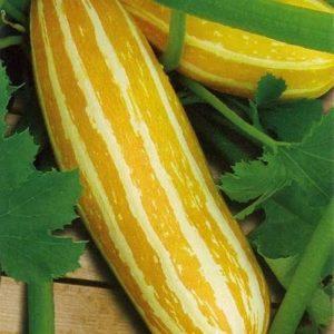 Vegetable Marrow Sunbeam F1