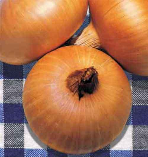 Onion Stuttgart Organic