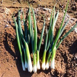 Onion Bunching Tokyo Long White Spring