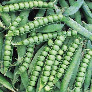 Pea Alderman Main Crop Tall