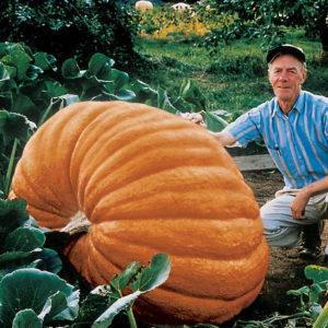 Pumpkin Dills Atlantic Giant