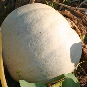 Pumpkin White Casper