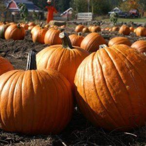 Pumpkin Howden Organic