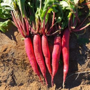 Radish China Rose Winter