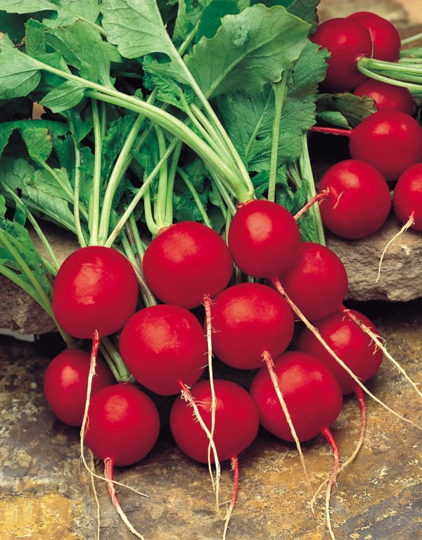 Radish Saxa 2 Organic