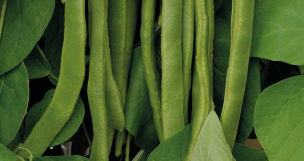 Runner Bean Polestar Stringless Variety