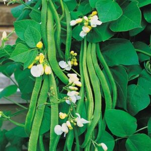 White Emergo Runner Bean Organic