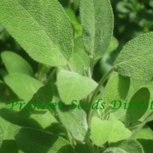 Herbs Sage Broad Leaved Organic