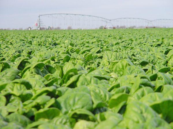 Spinach Medania
