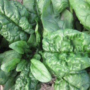 Spinach Bloomsdale Long Standing Organic