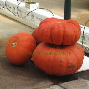 Squash Pumpkin Rouge Vif D'Etampes