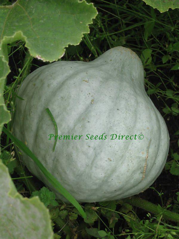 Squash Blue Hubbard Organic