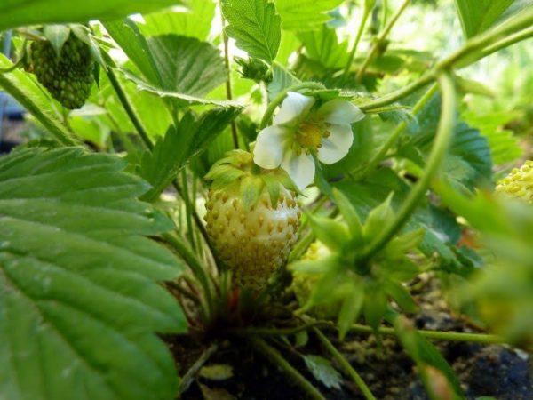 Strawberry Alpine Yellow Wonder