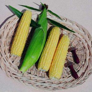 Sweet Corn Sweetcorn Earligold F1