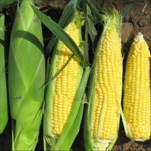 Sweet Corn Sweetcorn F1 Rising Sun