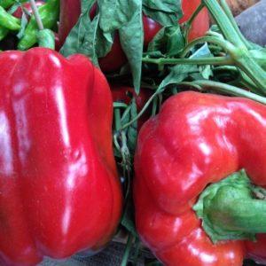 Sweet Pepper Asti Red
