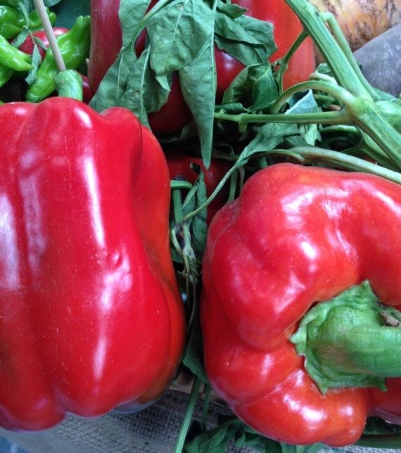 Sweet Pepper Asti Red