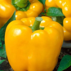 Sweet Pepper Golden California Wonder