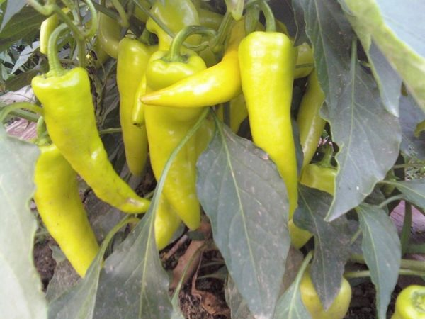 Sweet Pepper Hungarian Yellow Wax Sweet